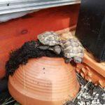 2 Griechische Landschildkröten Naturbruten 2018 abzugeben
