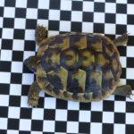 2 Griechische Landschildkröten zu verkaufen (Schlupf 2018)