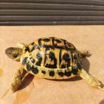 7x Griechische Landschildkröten THH abzugeben, Geburtsjahre 2011-2015