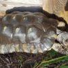 Breitrandschildkröte männlich