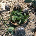 Griechische Landschildkröte aus liebevoller Hobbyzucht aus 2020 zu verkaufen