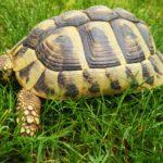 Griechische Landschildkröten NZ 2014 zu verkaufen