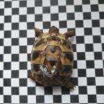 Griechische Landschildkröten NZ 2017 und 2020