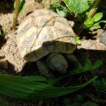 Griechische Landschildkröten THB NZ 2019 zu verkaufen