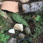Griechische Landschildkröten THB Nachzuchten 2019 + 2020