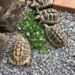 Griechische Landschildkröten männlich