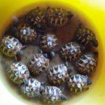 Griechische Landschildkröten (testudo hermanni )