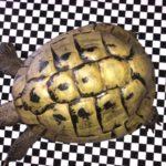 Griechische Landschildkrötengruppe