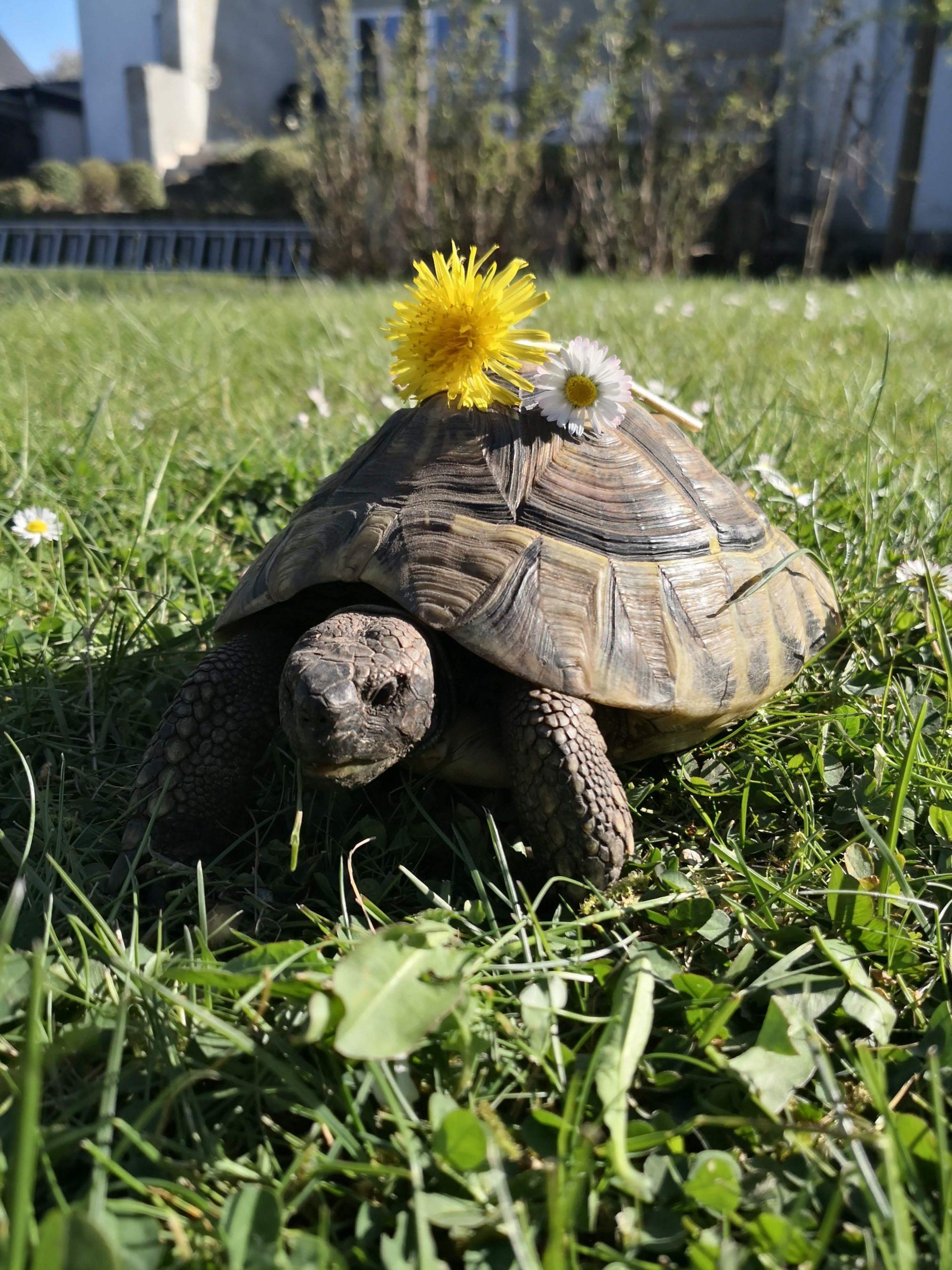 Kleechen im Garten -Griechische Landschildkröte