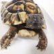 Griechische Landschildkröte Badezeit