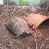 Maurische Landschildkröten 3 STK