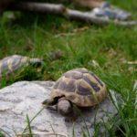 Nachwuchs Griechischer Landschildkröten (T.h.b.)