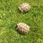 Nachzuchten Griechischer Landschildkröten