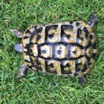Landschildkröte Weibchen Testudo hermanni boettgeri, NZ 2007 - erste Eiablage bereits erfolgt