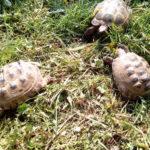 Vierzehen Landschildkröten NZ 2002-2005 zu verkaufen