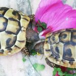 Zwei Griechische Landschildkröten zu verkaufen