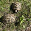 Zwei griechische Landschildkröten (Freilandgehege)