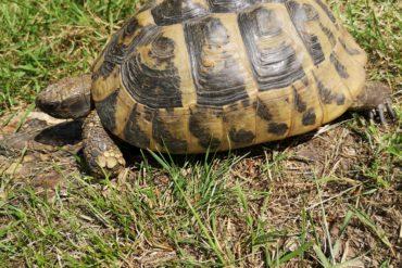 Schildkröte in Hamburg Kirchwerder gefunden