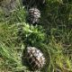 Griechische Landschildkröten im Freigehege beim essen