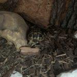 2 Griechische Landschildkröten 2019 zu verkaufen