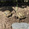 2 Griechische Landschildkröten NZ 2020