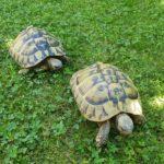2 Griechische Landschildkröten von 2003 zu verkaufen