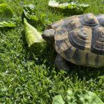 2 Griechische Landschildkröten (thb) w & m NZ 2007 & 2008 zu verkaufen