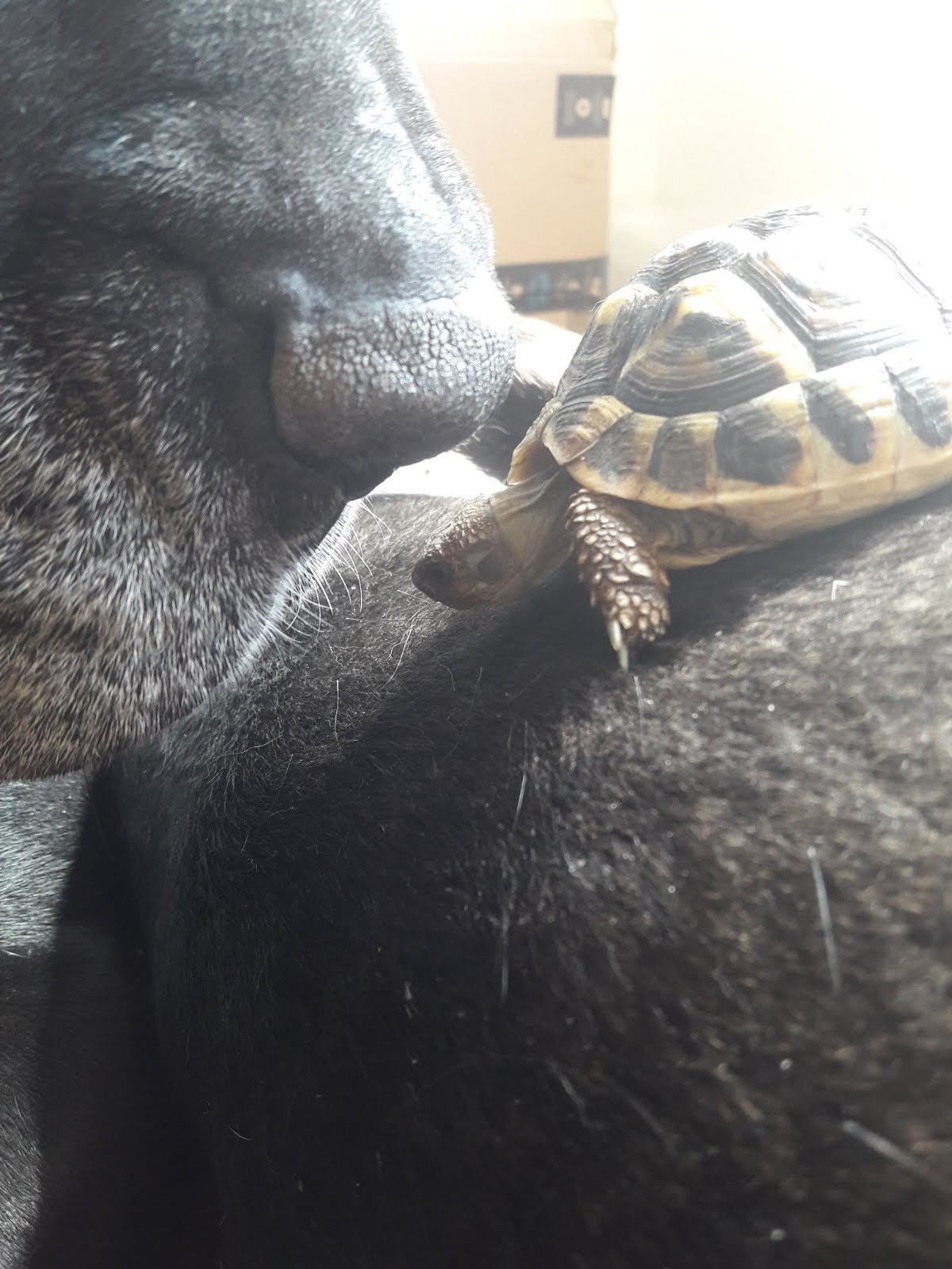 Griechische Landschildkröte und Hund