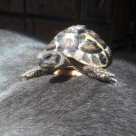 Griechische Landschildkröte in Georgenborn vermisst