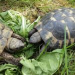 3 Landschildkröten männlich abzugeben