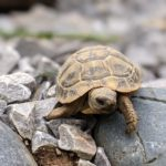 Dalmatinische Landschildkröten, t.h.b hercegoviniensis