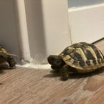 Griechische Landschildkröte (Jungtier aus 2020) vermisst in Oer-Erkenschwick