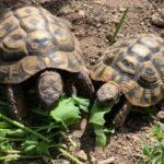 Griechische Dalmatinische Landschildkröten zu verkaufen