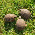 Griechische Landschildkröte NZ 2020 zu verkaufen