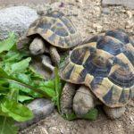Griechische Landschildkröte geboren 2015 zu verkaufen