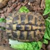 Griechische Landschildkröte inklusive Terrarium von privat zu verkaufen