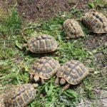 Griechische Landschildkröten NZ 12/13/14 abzugeben