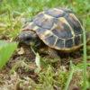 Griechische Landschildkröten NZ 2020 (T.h.h. und T.h.b.) zu verkaufen
