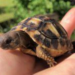 Griechische Landschildkröten aus Nachzucht zu verkaufen