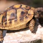 Griechische Landschildkröten, eigene Nachzucht 2020, THBoettgeri