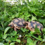 Landschildkröten Breitrandschildkröten Testudo Marginata aus eigener Zucht zu verkaufen