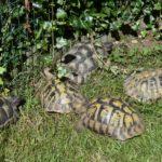 Landschildkröten abzugeben