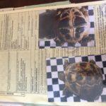 Nun 2019, Griechische Landschildkröte zu verkaufen