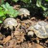 Schöne Griechische Landschildkröten (THB) NZ 2020 zu verkaufen