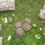Steppenschildkröten (Testudo Horsfieldii ) NZ 2019 und 2020