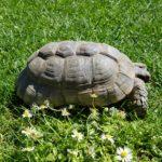 Testudo Marginata/ Breitrandschildkröten