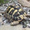 Zwei Griechische Landschildkröten THB 2015 weiblich abzugeben