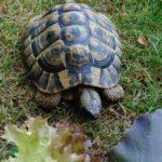 Griechische Landschildkröte vermisst in 21149 Hamburg