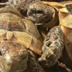 Griechische Landschildkröte zu verkaufen (männlich)