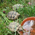 Griechische Landschildkröten NZ 2020 zu verkaufen